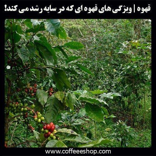 قهوه رشد کرده در سایه چه ویژگی دارد؟
