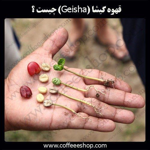 گِیشا، گونه ای از قهوه که بسیار پرطرفدار است